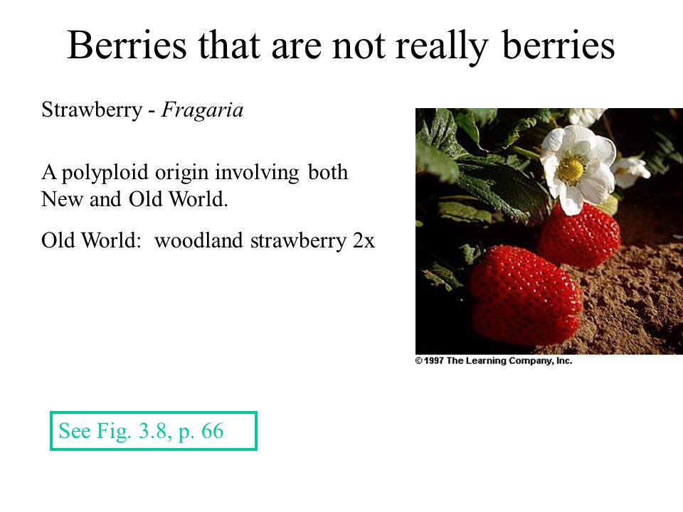 Berries that are not really berries Strawberry - Fragaria See Fig.