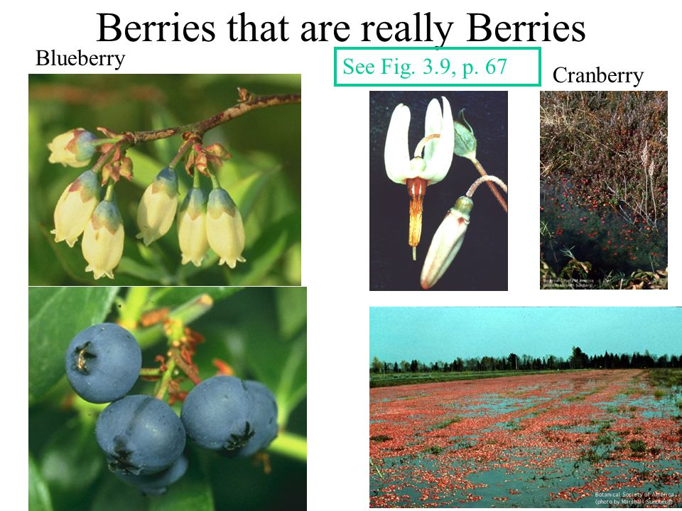 Another Popular Berry Grapes - Vitis Vineyard grapes Muscadine grapes Table grapes Flowers See Fig.