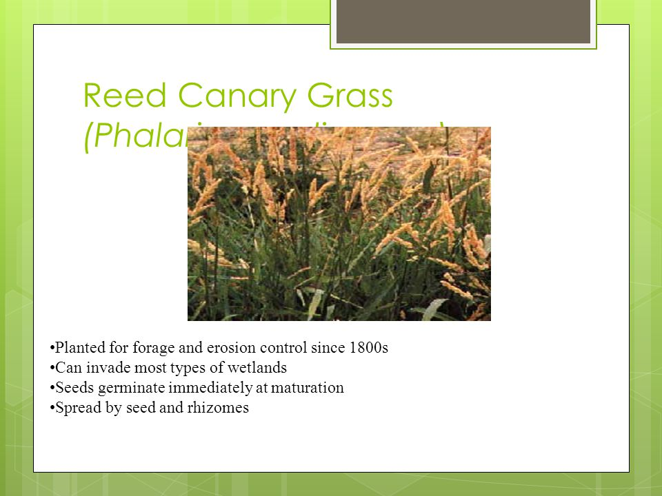Reed Canary Grass (Phalaris arundinacea) Planted for forage and erosion control since 1800s Can invade most types of wetlands Seeds germinate immediately at maturation Spread by seed and rhizomes