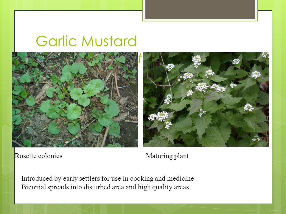Garlic Mustard (Allaria petiolata) Rosette coloniesMaturing plant Introduced by early settlers for use in cooking and medicine Biennial spreads into disturbed area and high quality areas