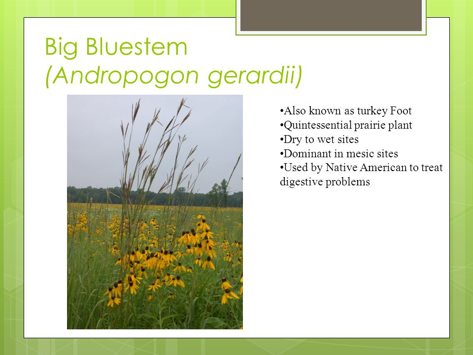Big Bluestem (Andropogon gerardii) Also known as turkey Foot Quintessential prairie plant Dry to wet sites Dominant in mesic sites Used by Native American to treat digestive problems