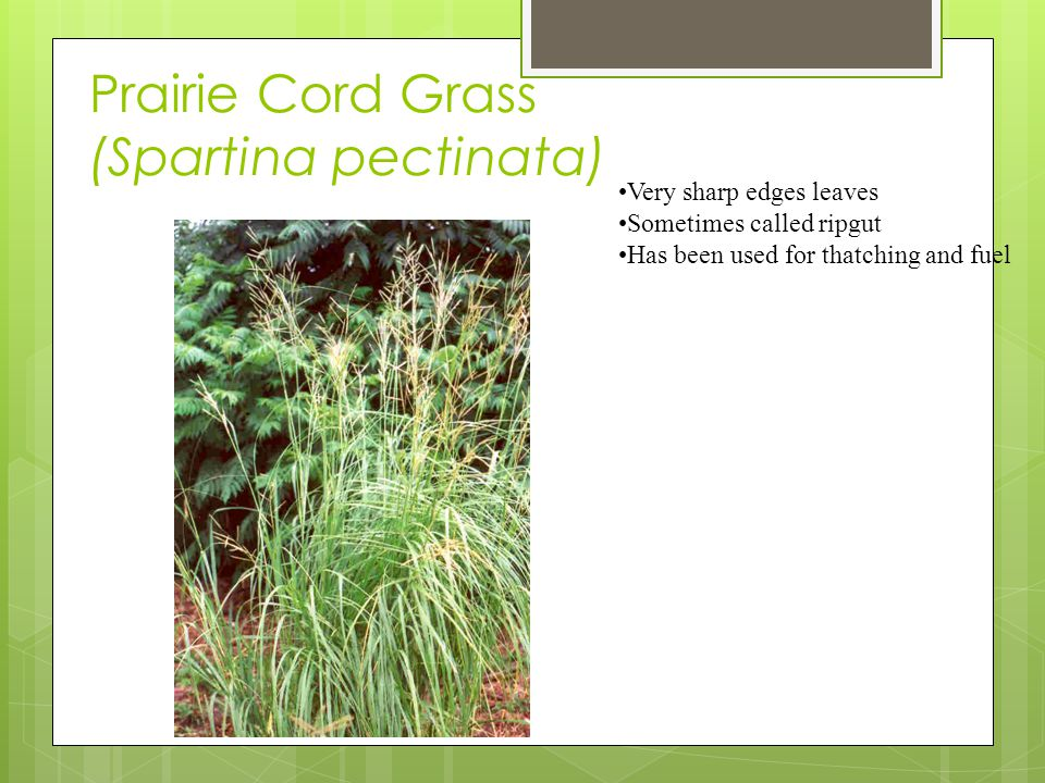 Prairie Cord Grass (Spartina pectinata) Very sharp edges leaves Sometimes called ripgut Has been used for thatching and fuel