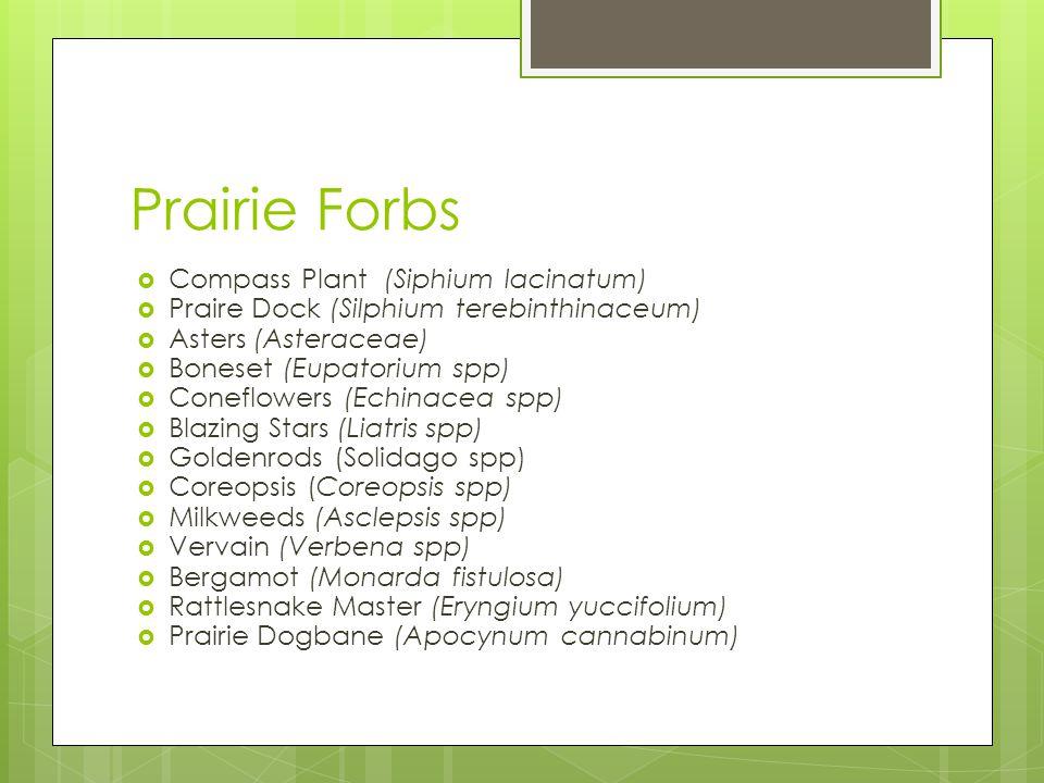 Prairie Forbs  Compass Plant (Siphium lacinatum)  Praire Dock (Silphium terebinthinaceum)  Asters (Asteraceae)  Boneset (Eupatorium spp)  Coneflowers (Echinacea spp)  Blazing Stars (Liatris spp)  Goldenrods (Solidago spp)  Coreopsis (Coreopsis spp)  Milkweeds (Asclepsis spp)  Vervain (Verbena spp)  Bergamot (Monarda fistulosa)  Rattlesnake Master (Eryngium yuccifolium)  Prairie Dogbane (Apocynum cannabinum)