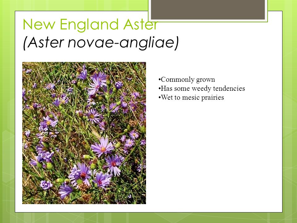 New England Aster (Aster novae-angliae) Commonly grown Has some weedy tendencies Wet to mesic prairies