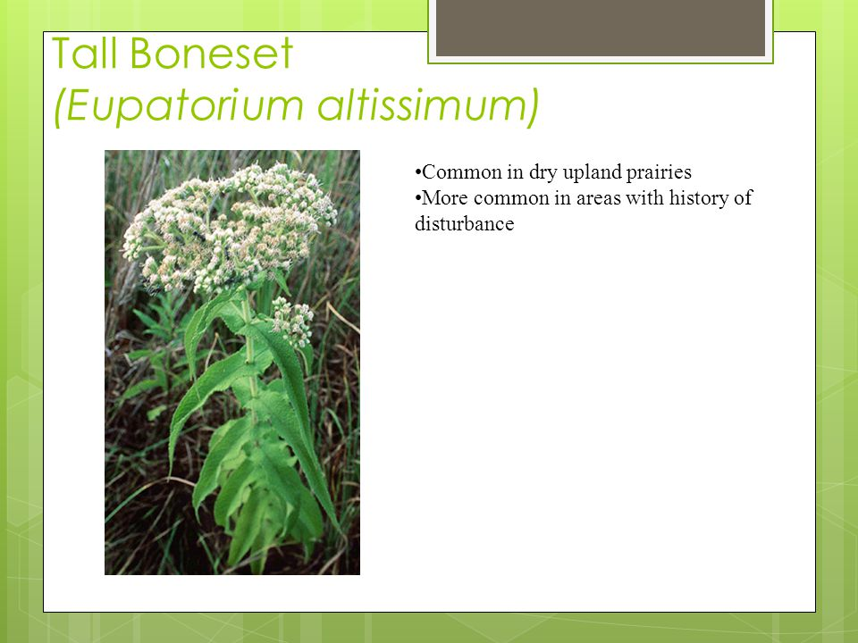 Tall Boneset (Eupatorium altissimum) Common in dry upland prairies More common in areas with history of disturbance