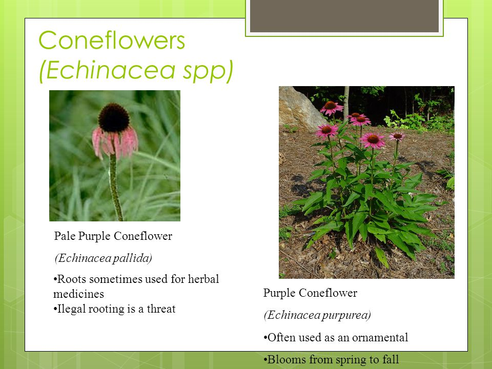Coneflowers (Echinacea spp) Purple Coneflower (Echinacea purpurea) Often used as an ornamental Blooms from spring to fall Pale Purple Coneflower (Echinacea pallida) Roots sometimes used for herbal medicines Ilegal rooting is a threat