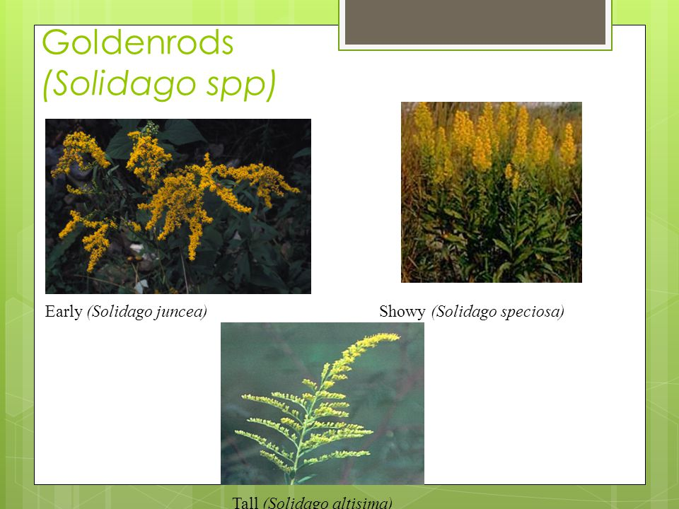 Goldenrods (Solidago spp) Showy (Solidago speciosa)Early (Solidago juncea) Tall (Solidago altisima)