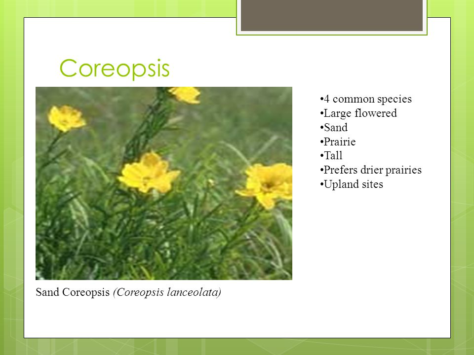 Coreopsis (Coreopsis spp) 4 common species Large flowered Sand Prairie Tall Prefers drier prairies Upland sites Sand Coreopsis (Coreopsis lanceolata)