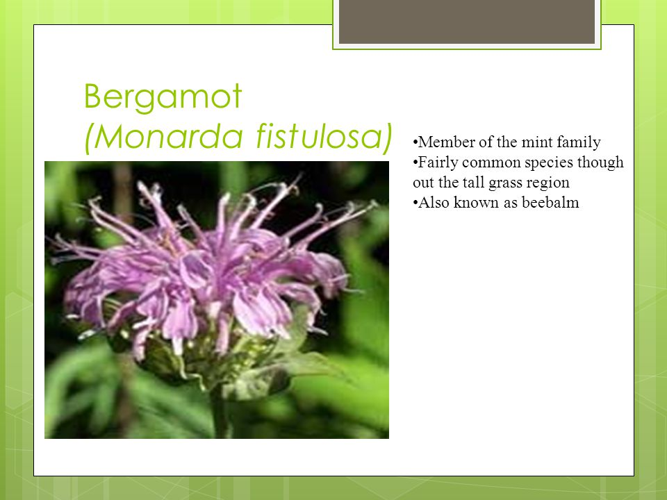 Bergamot (Monarda fistulosa) Member of the mint family Fairly common species though out the tall grass region Also known as beebalm