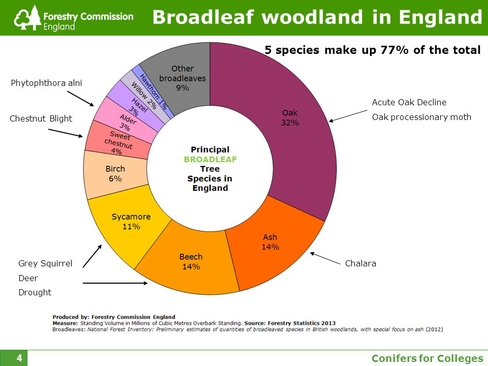 Conifers for Colleges 4 Broadleaf woodland in England 5 species make up 77% of the total Acute Oak Decline Oak processionary moth ChalaraGrey Squirrel Deer Drought Chestnut Blight Phytophthora alni