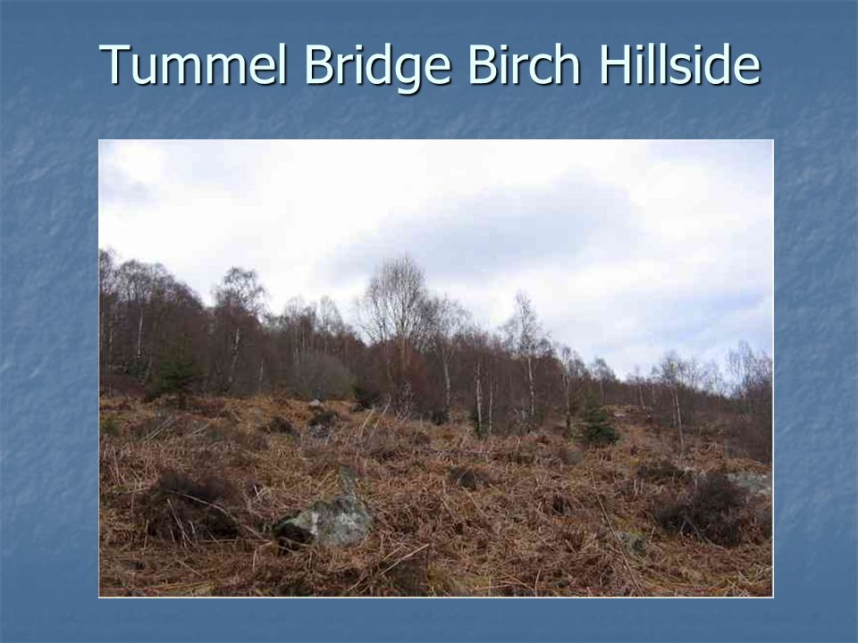 Tummel Bridge Birch Hillside