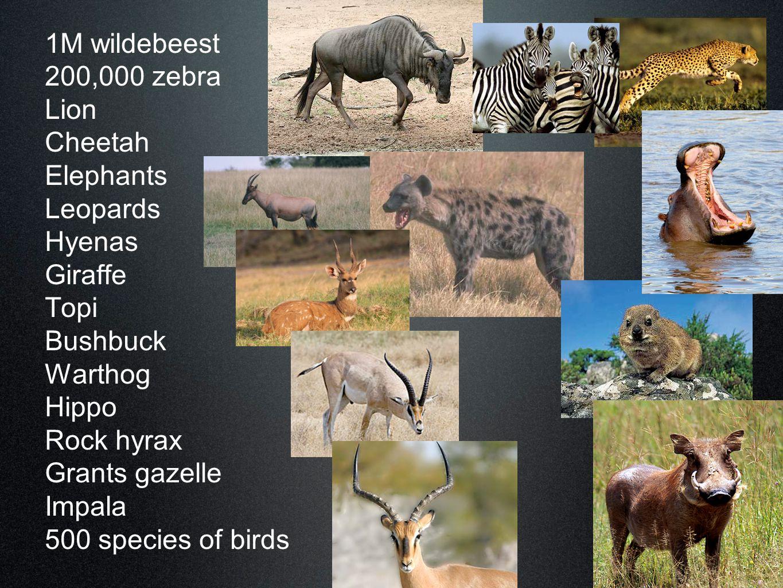 1M wildebeest 200,000 zebra Lion Cheetah Elephants Leopards Hyenas Giraffe Topi Bushbuck Warthog Hippo Rock hyrax Grants gazelle Impala 500 species of