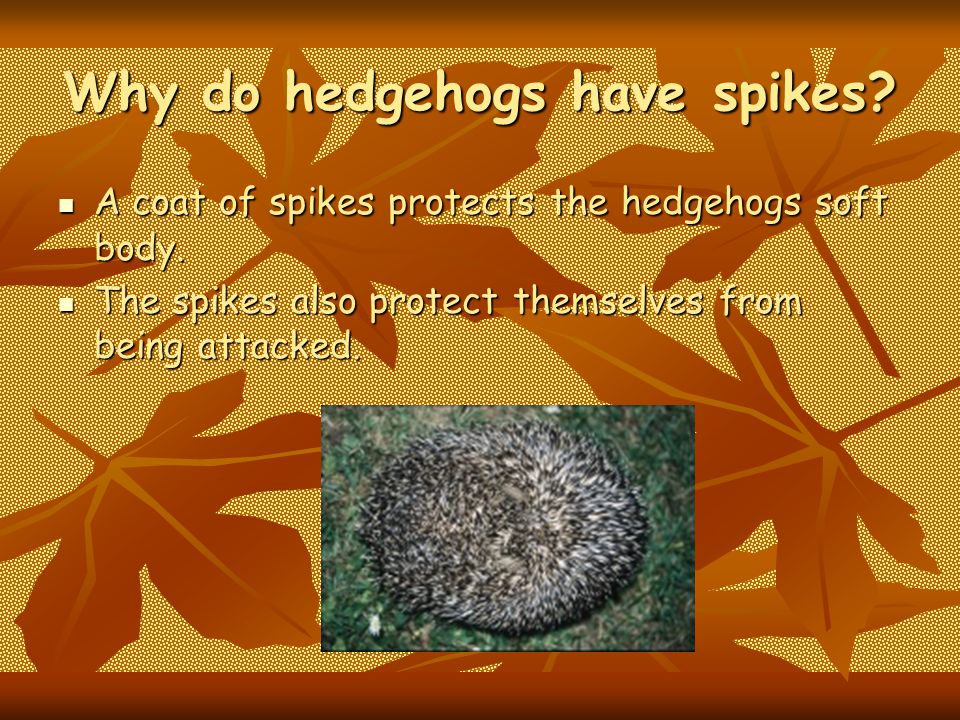 Relations Hedgehogs are related to a animal called a porcupine.