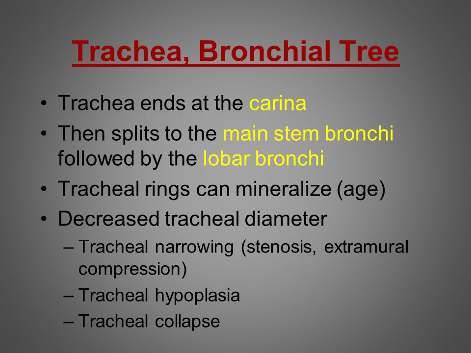 Trachea, Bronchial Tree Trachea ends at the carina Then splits to the main stem bronchi followed by the lobar bronchi Tracheal rings can mineralize (a