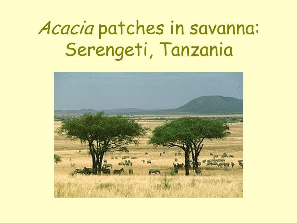 Acacia patches in savanna: Serengeti, Tanzania