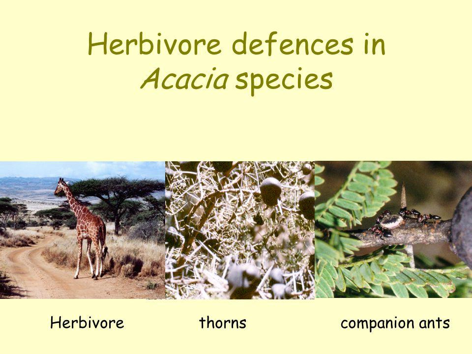 Herbivore defences in Acacia species Herbivore thorns companion ants