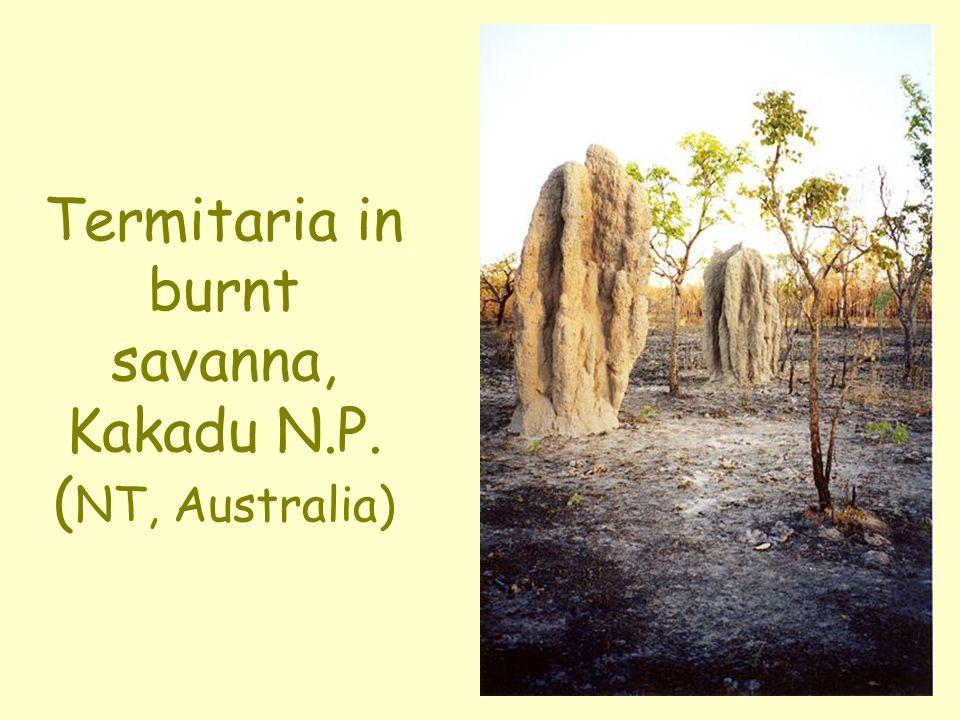 Termitaria in burnt savanna, Kakadu N.P. ( NT, Australia)