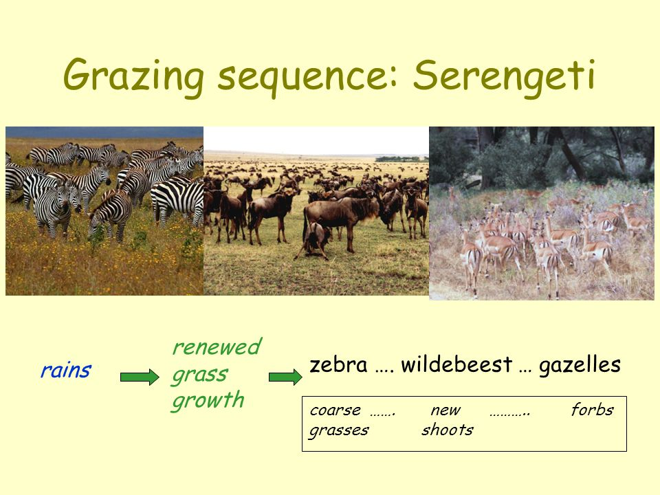 Grazing sequence: Serengeti rains renewed grass growth zebra …. wildebeest … gazelles coarse ……. new ……….. forbs grasses shoots