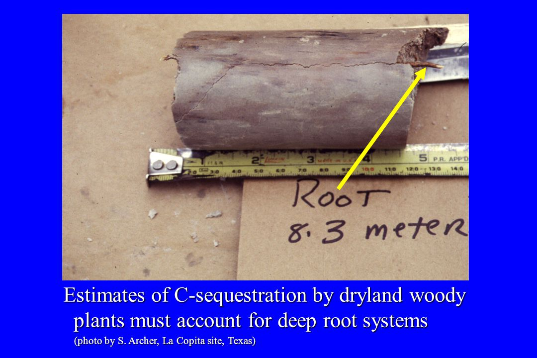 Estimates of C-sequestration by dryland woody plants must account for deep root systems plants must account for deep root systems (photo by S.