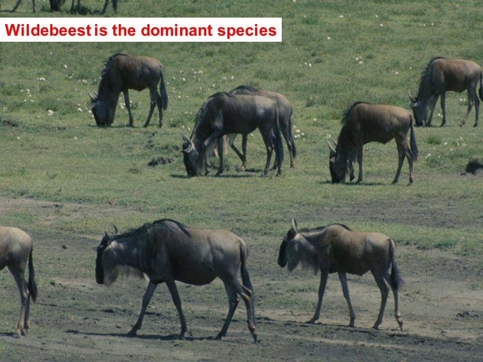 Wildebeest is the dominant species