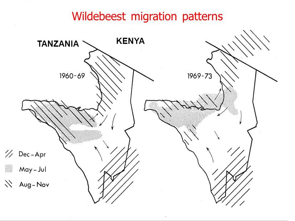 Wildebeest migration patterns TANZANIA KENYA