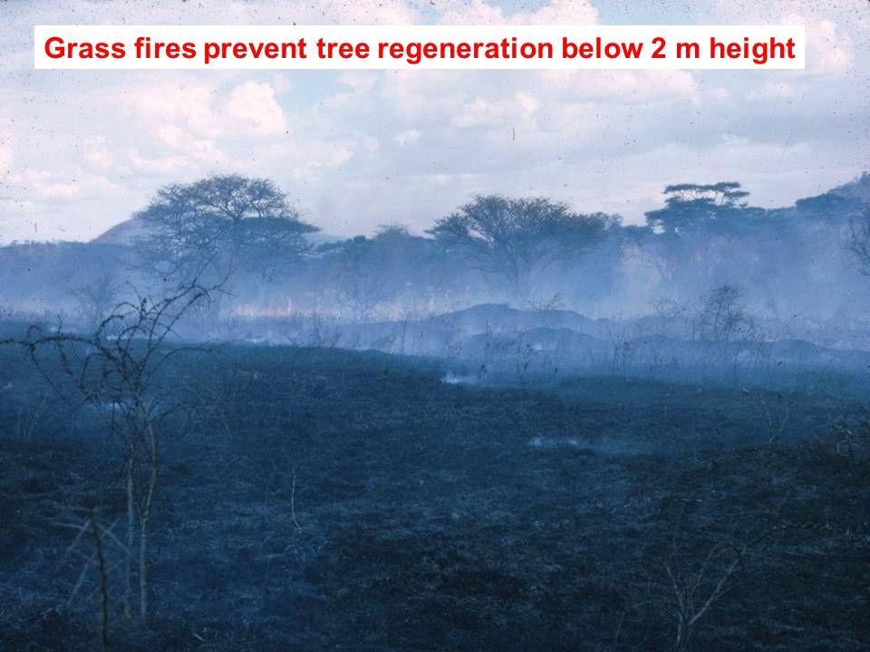 Grass fires prevent tree regeneration below 2 m height