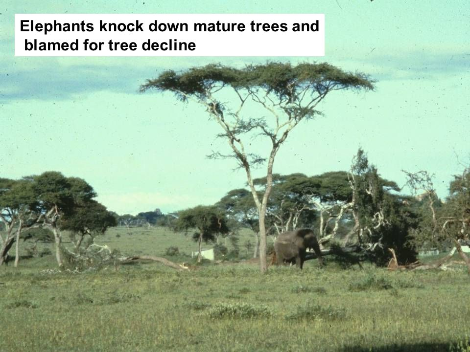 Elephants knock down mature trees and blamed for tree decline
