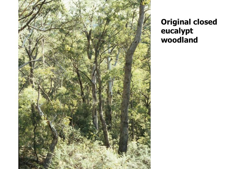 Original closed eucalypt woodland