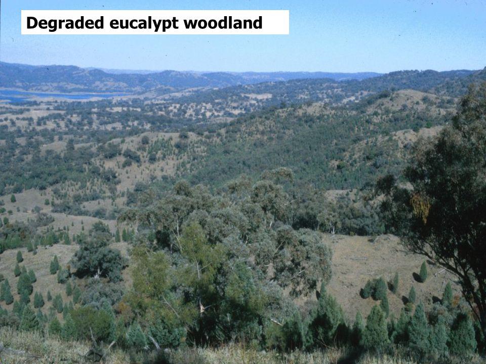 Degraded eucalypt woodland