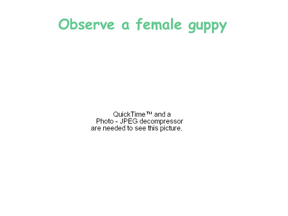 Observing guppies … Observe, draw, and describe a male and a female guppy.