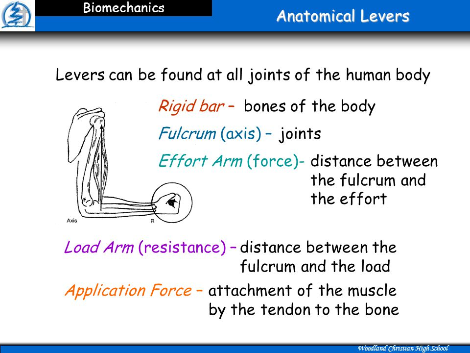 Woodland Christian High School Anatomical Levers Biomechanics Levers can be found at all joints of the human body bones of the body joints attachment of the muscle by the tendon to the bone Application Force – Load Arm (resistance) –distance between the fulcrum and the load distance between the fulcrum and the effort Rigid bar – Fulcrum (axis) – Effort Arm (force)-