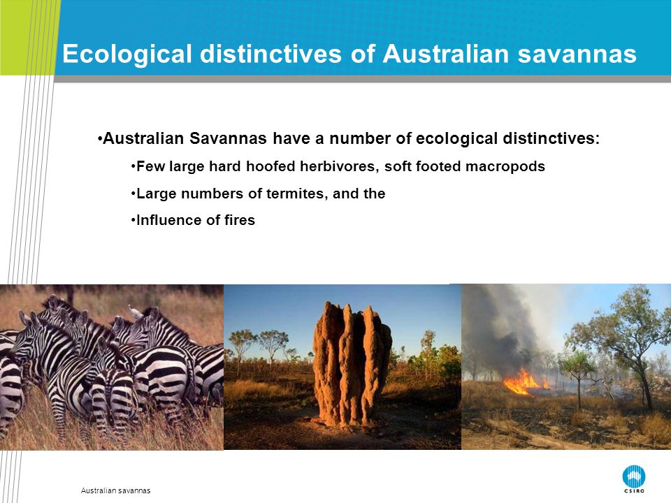 Australian savannas Ecological distinctives of Australian savannas Australian Savannas have a number of ecological distinctives: Few large hard hoofed herbivores, soft footed macropods Large numbers of termites, and the Influence of fires