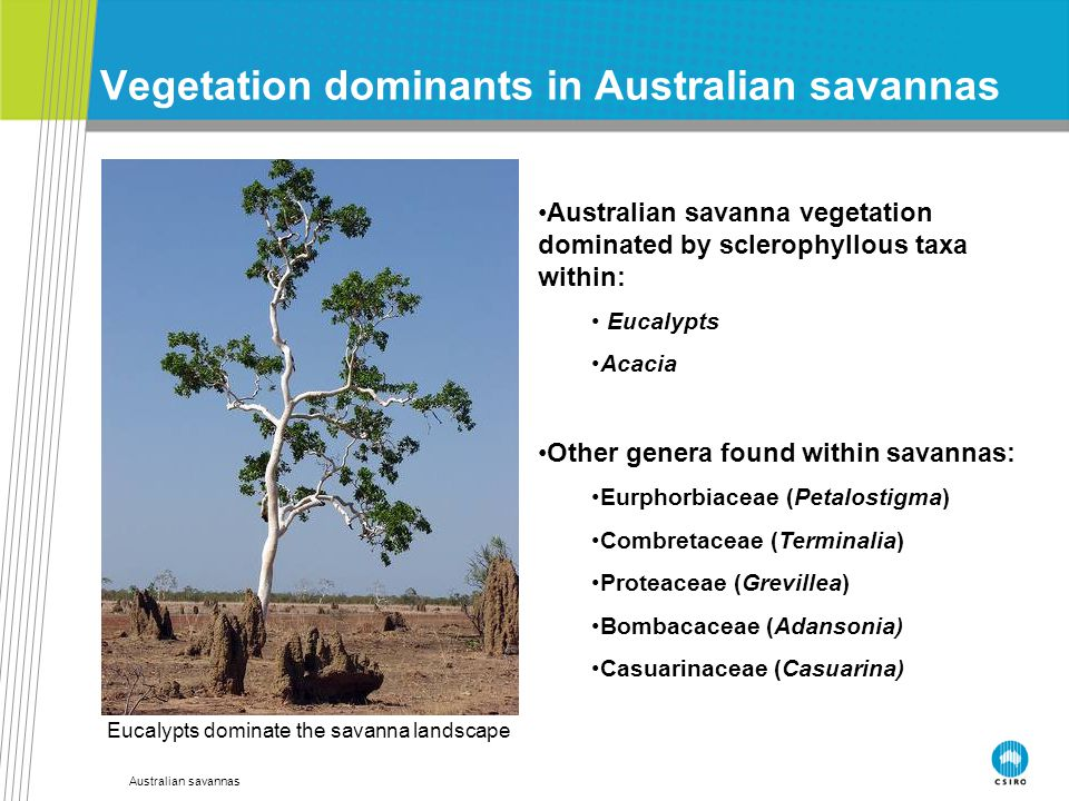 Australian savannas Vegetation dominants in Australian savannas Australian savanna vegetation dominated by sclerophyllous taxa within: Eucalypts Acacia Other genera found within savannas: Eurphorbiaceae (Petalostigma) Combretaceae (Terminalia) Proteaceae (Grevillea) Bombacaceae (Adansonia) Casuarinaceae (Casuarina) Eucalypts dominate the savanna landscape