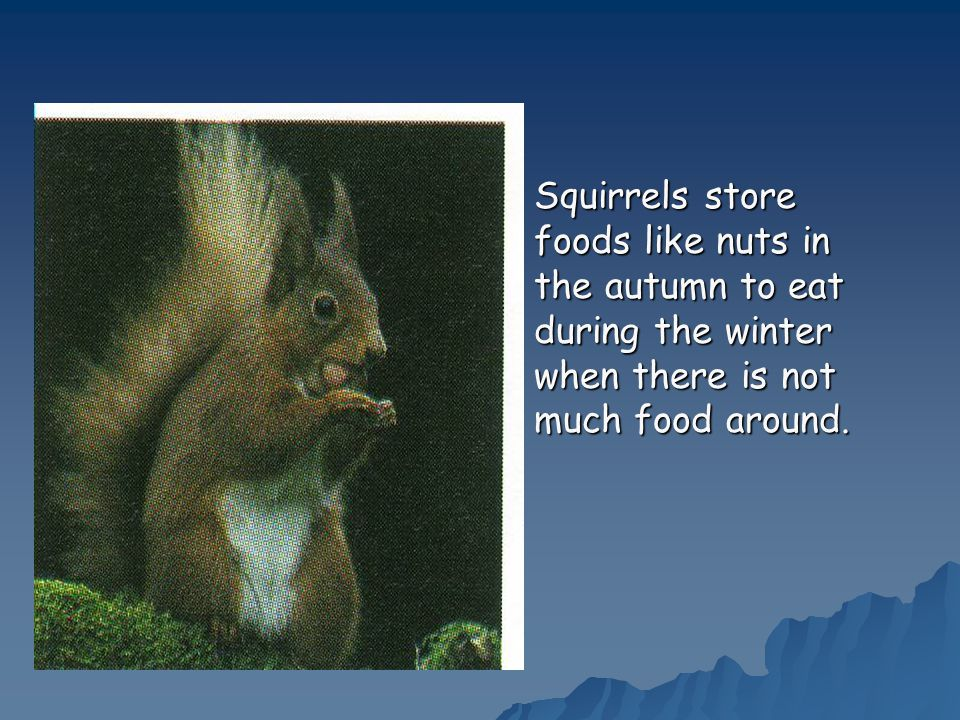  Squirrels store foods like nuts in the autumn to eat during the winter when there is not much food around.