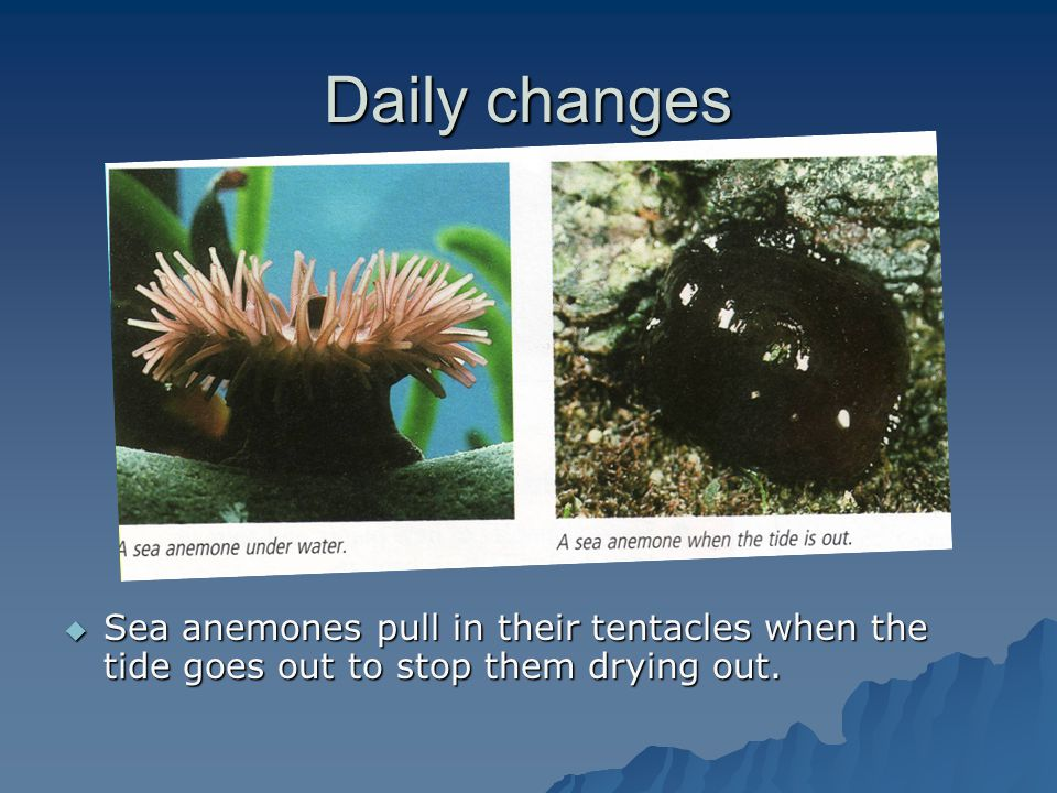 Daily changes  Sea anemones pull in their tentacles when the tide goes out to stop them drying out.