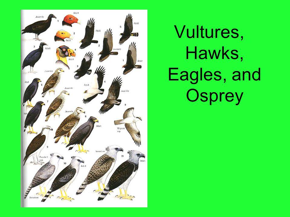 Vultures, Hawks, Eagles, and Osprey
