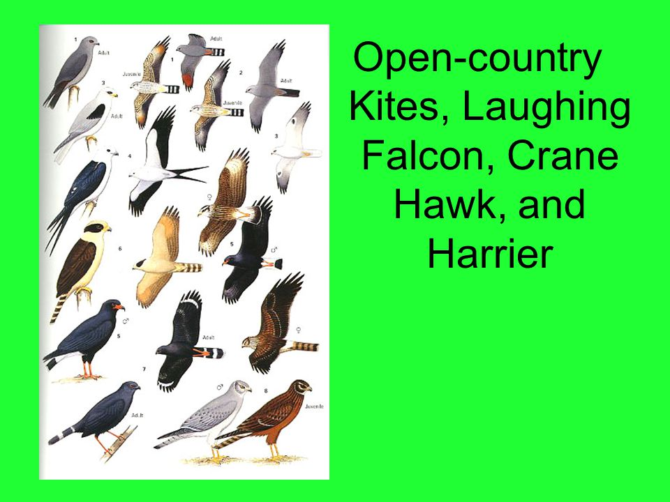 Open-country Kites, Laughing Falcon, Crane Hawk, and Harrier