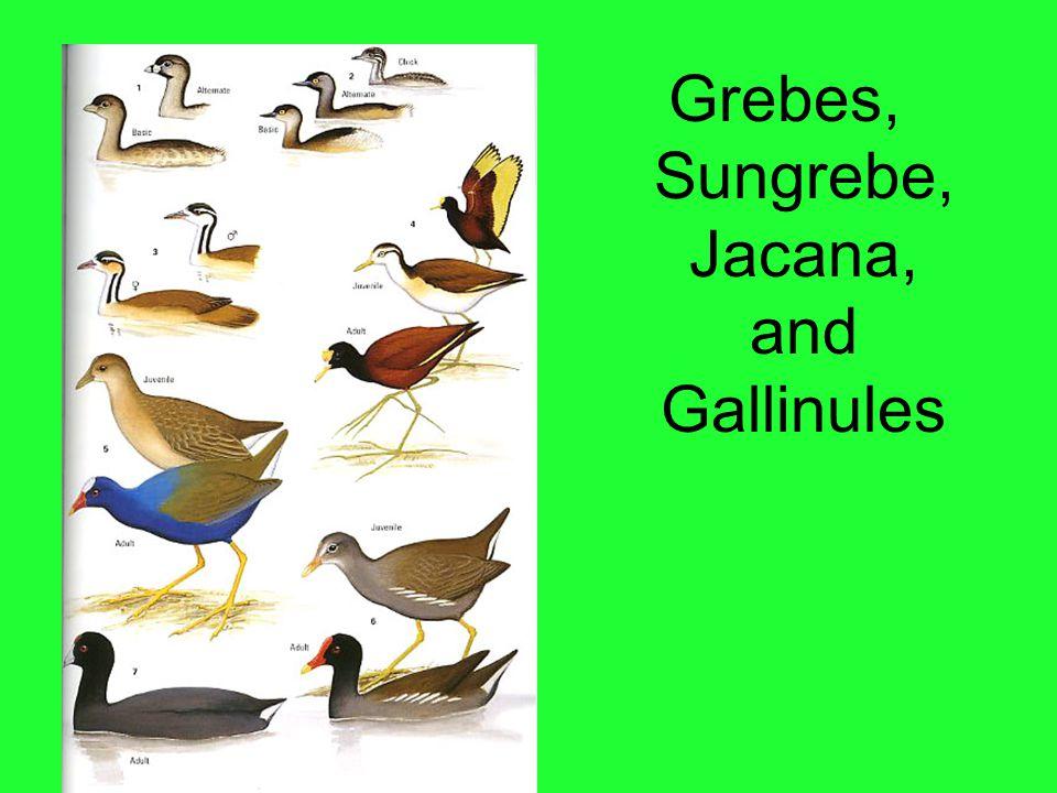 Grebes, Sungrebe, Jacana, and Gallinules