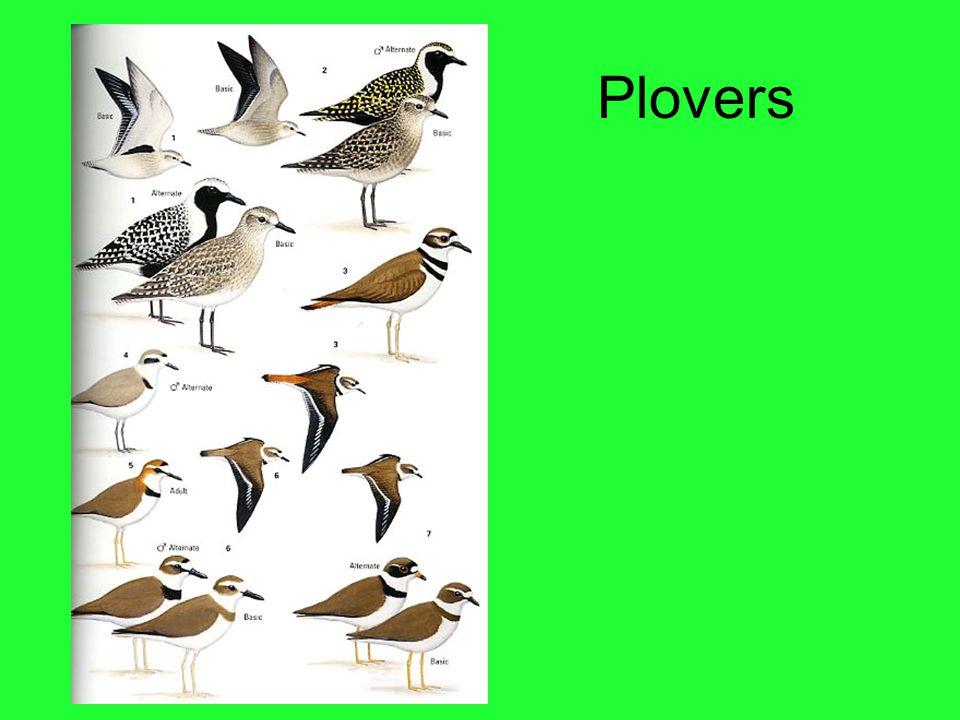 Plovers