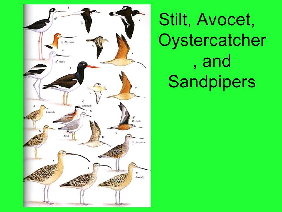 Stilt, Avocet, Oystercatcher, and Sandpipers