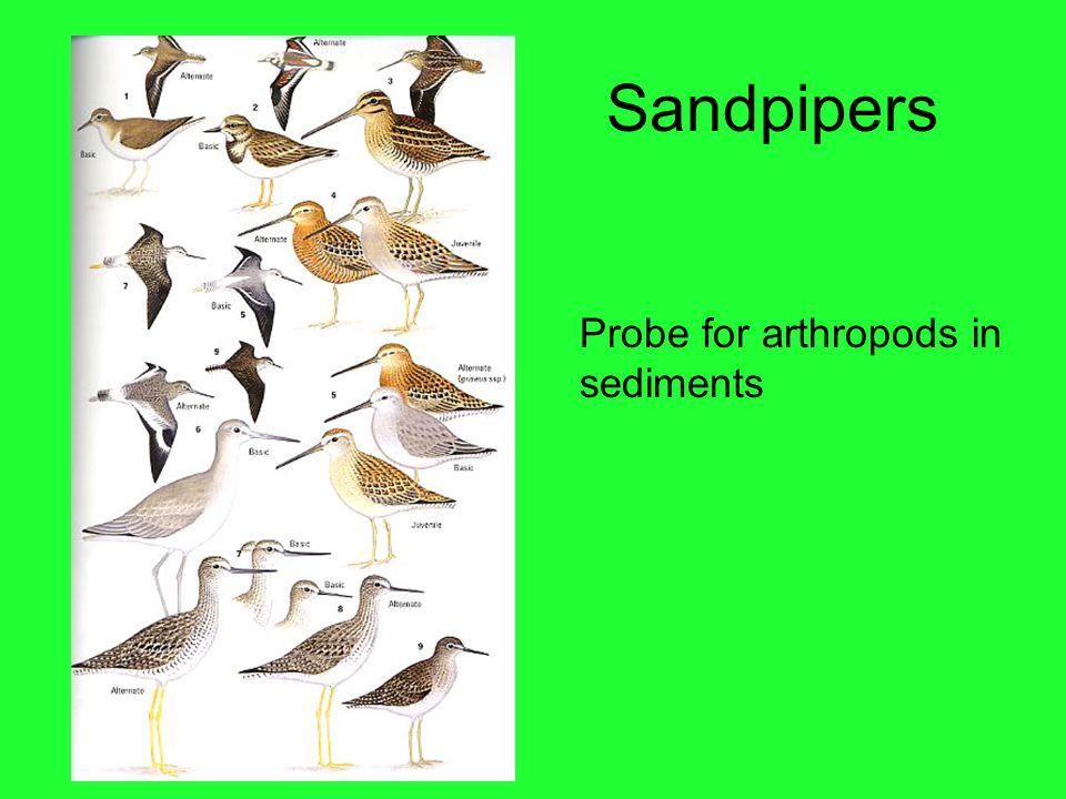 Sandpipers Probe for arthropods in sediments