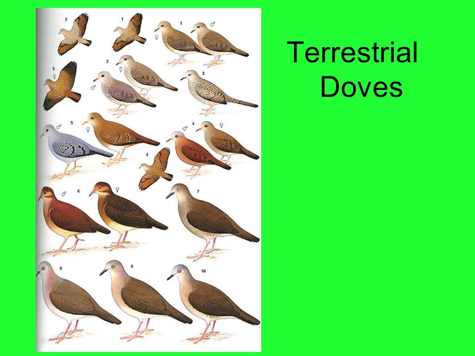 Terrestrial Doves