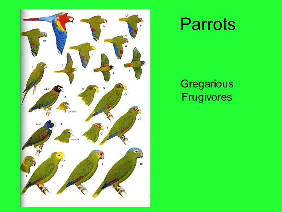 Parrots Gregarious Frugivores