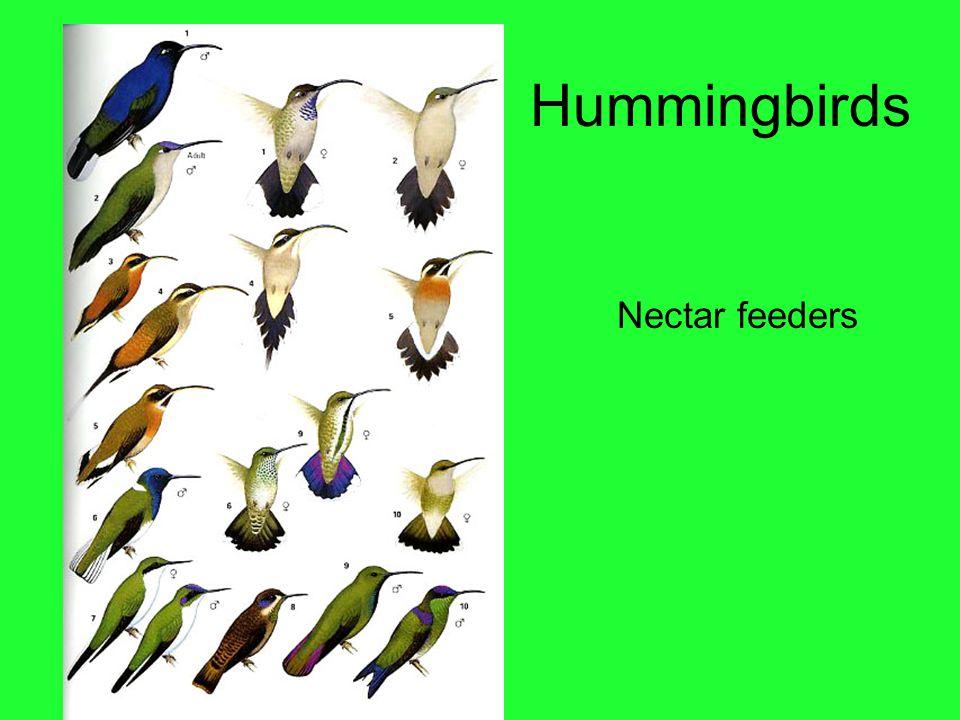 Hummingbirds Nectar feeders