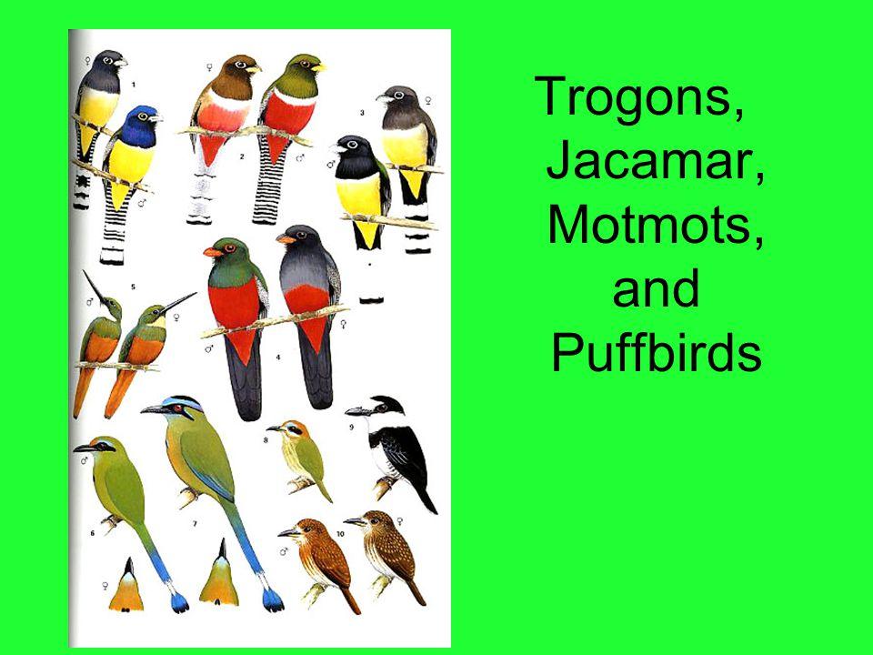 Trogons, Jacamar, Motmots, and Puffbirds