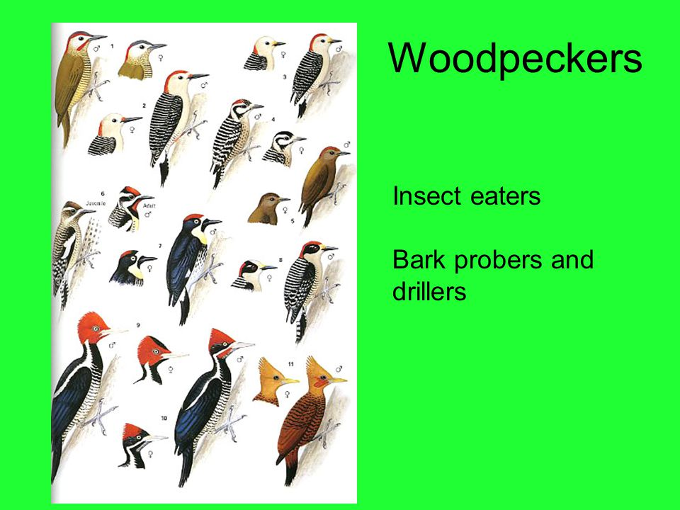 Woodpeckers Insect eaters Bark probers and drillers