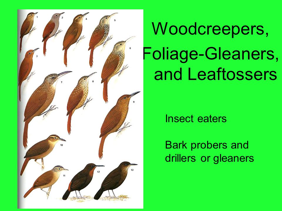 Woodcreepers, Foliage-Gleaners, and Leaftossers Insect eaters Bark probers and drillers or gleaners