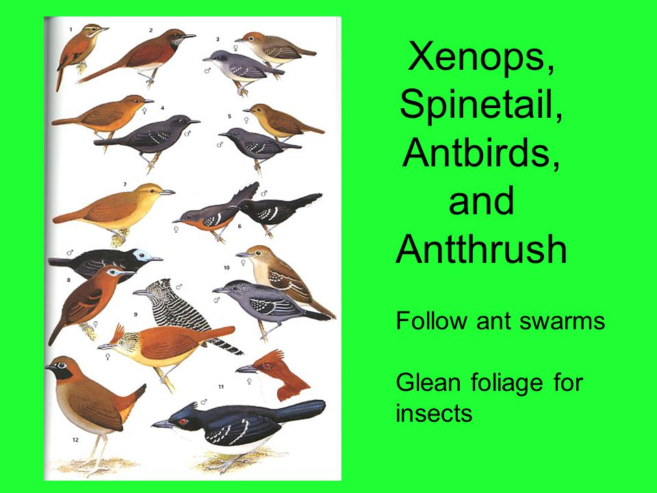 Xenops, Spinetail, Antbirds, and Antthrush Follow ant swarms Glean foliage for insects