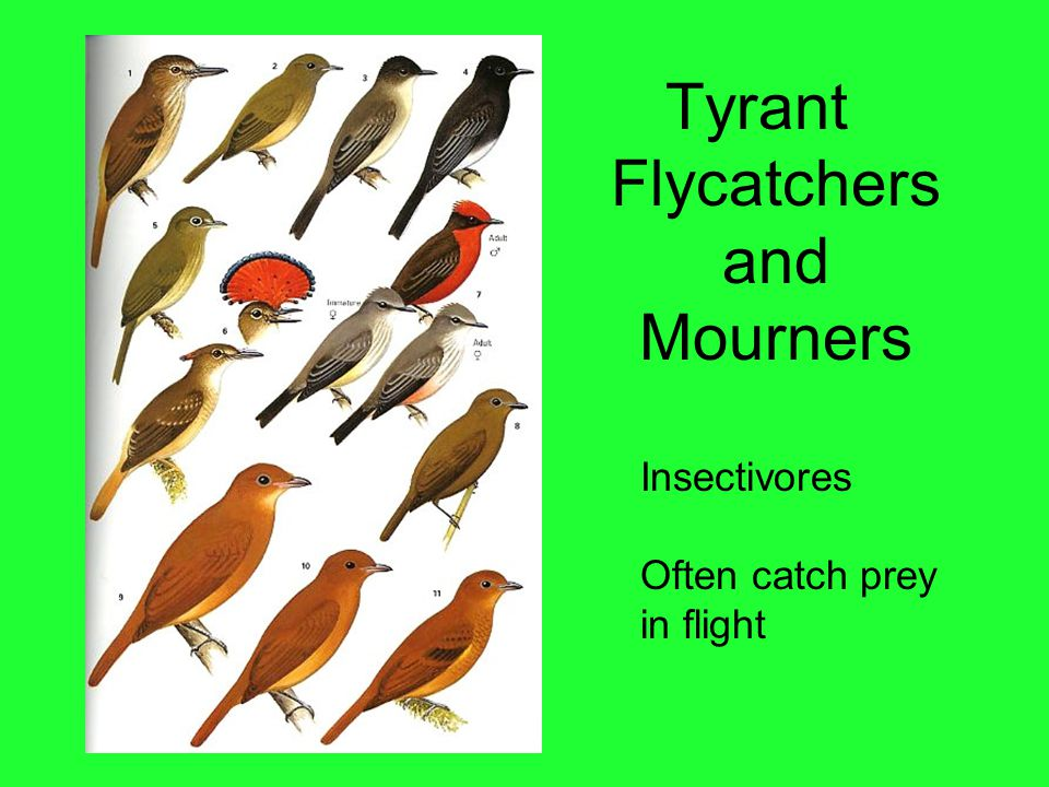 Tyrant Flycatchers and Mourners Insectivores Often catch prey in flight