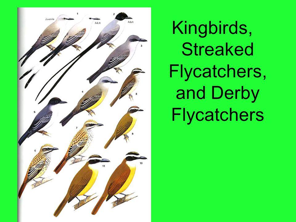 Kingbirds, Streaked Flycatchers, and Derby Flycatchers